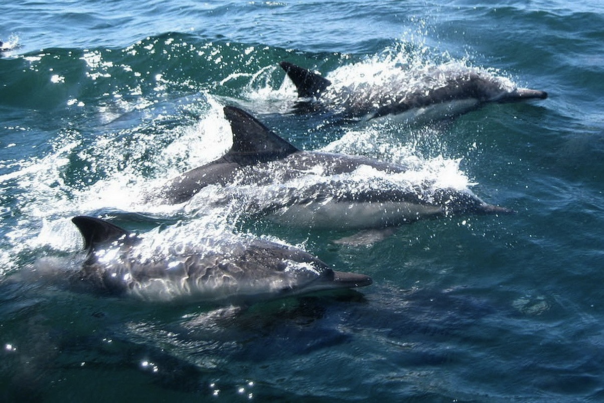 δελφίνια-στα-νερα-του-ρηνου